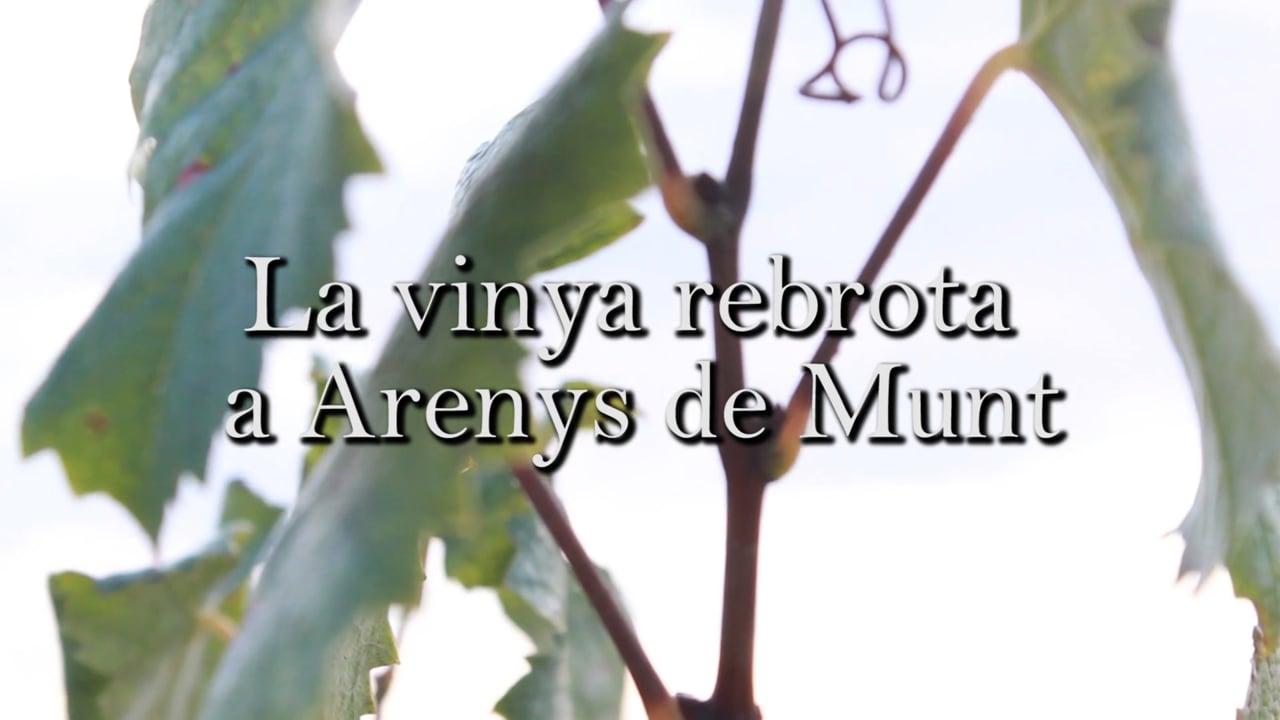 La vinya rebrota a Arenys de Munt