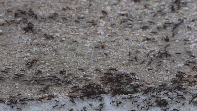 Ants sp. undetermined (Jalisco)