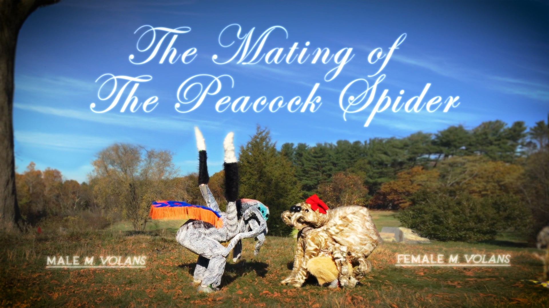 The Mating Of The Peacock Spider