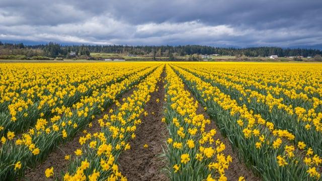 Daffodils Festival in WA
