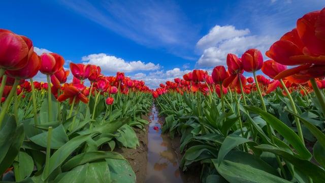 Tulip Festival -1, Washington State