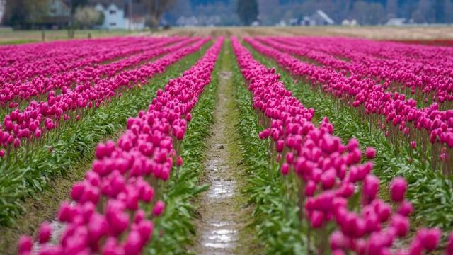 Tulip Festival - 2, Washington State