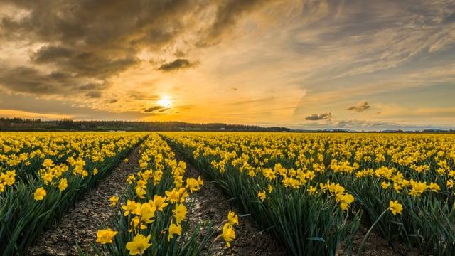 Daffodils in Washington State
