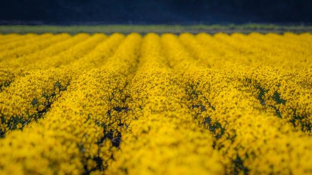 Skagit Valley Daffodils 3