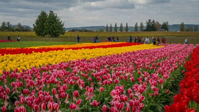 Tulip Festival in WA-3