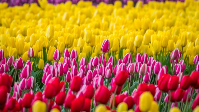 Tulip Festival, Oregon-3