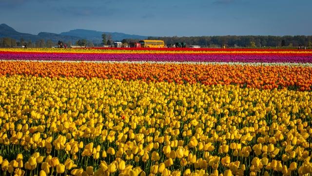Tulip Festival, Oregon-1