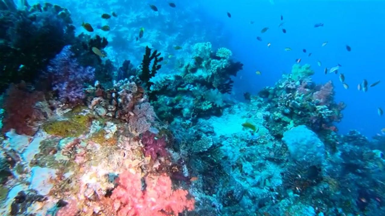 Diving the Great White Wall, Rainbow Reef, Taveuni, Vanua Levu, Somosomo Strait, Fiji