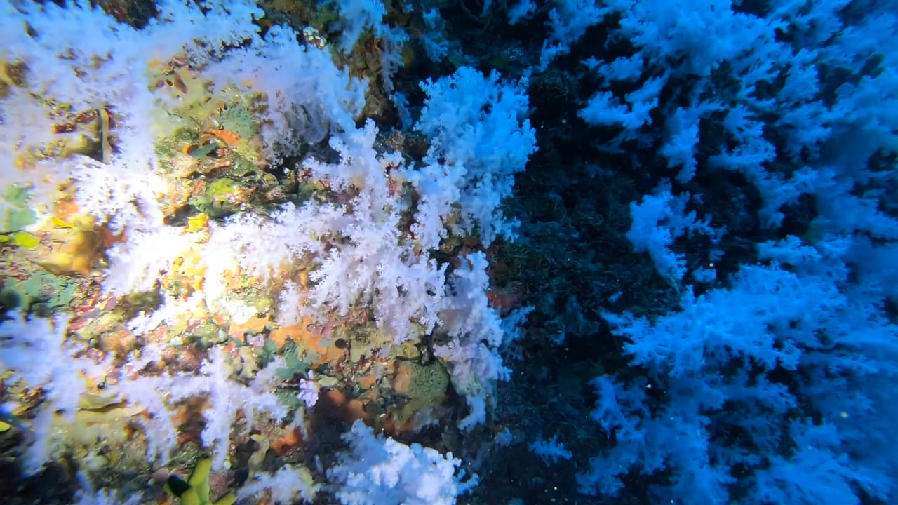 Diving the Great White Wall of blooming soft coral at Rainbow Reef, Fiji