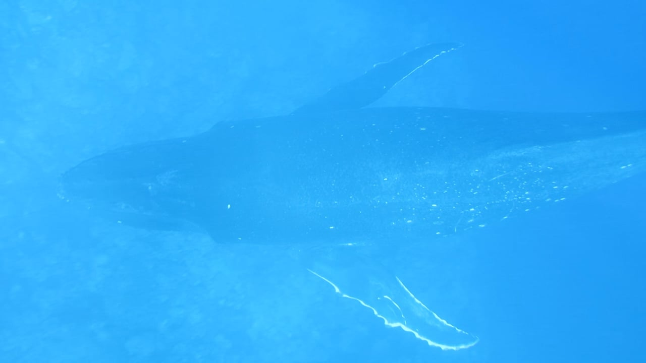 Humpback whale calf (baby) swims underneath us next to the boat moored off Palmerston Island in the Cook Islands