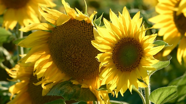 Sunflower Field - Preview