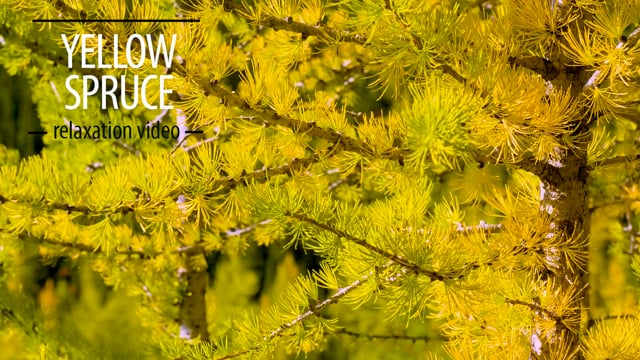 Yellow Spruce
