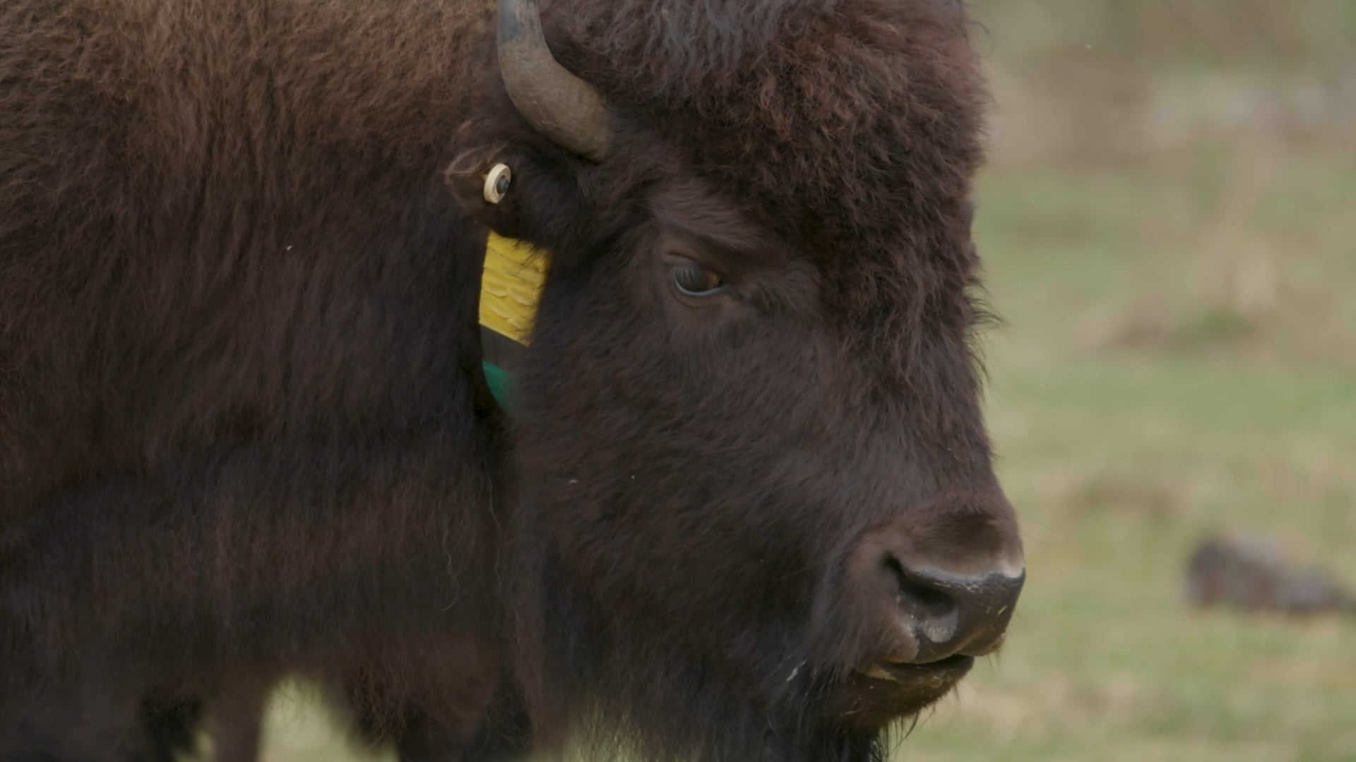 Parks Canada - Bison Release Preparation