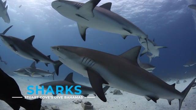 Stuart Cove - Sharks (No Feeds)*
