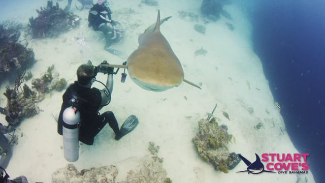 Stuart Cove - Sharks (No Feeds)