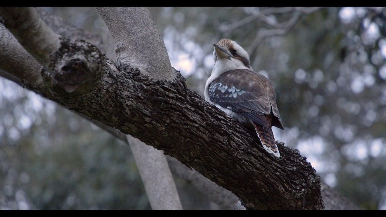The Kookaburras