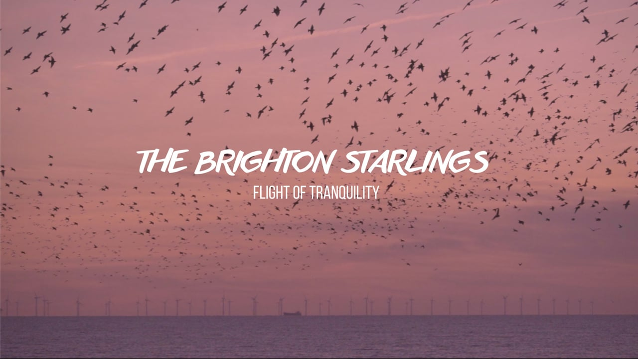 Flight of Tranquility - The Brighton Starlings