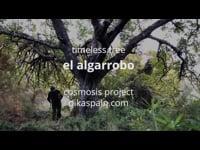 Timeless Tree Algarrobo