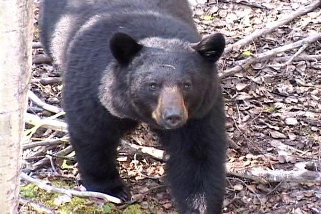 Newfoundland Black Bear Hunt (full episode)