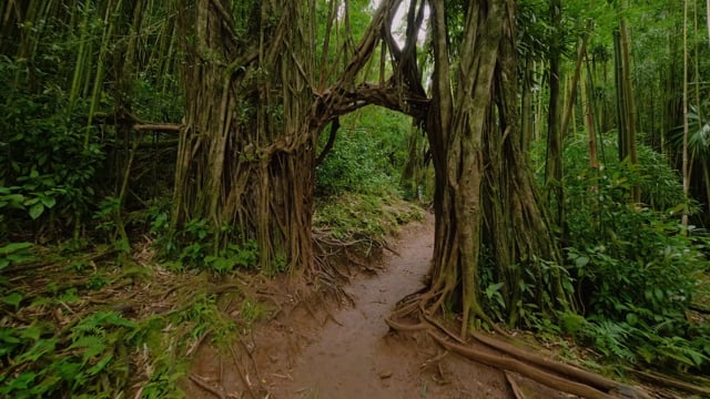 Manoa Falls Trail, Oahu, Hawaii