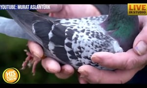 Armondo the Racing Pigeon Sold for $1.4 Million