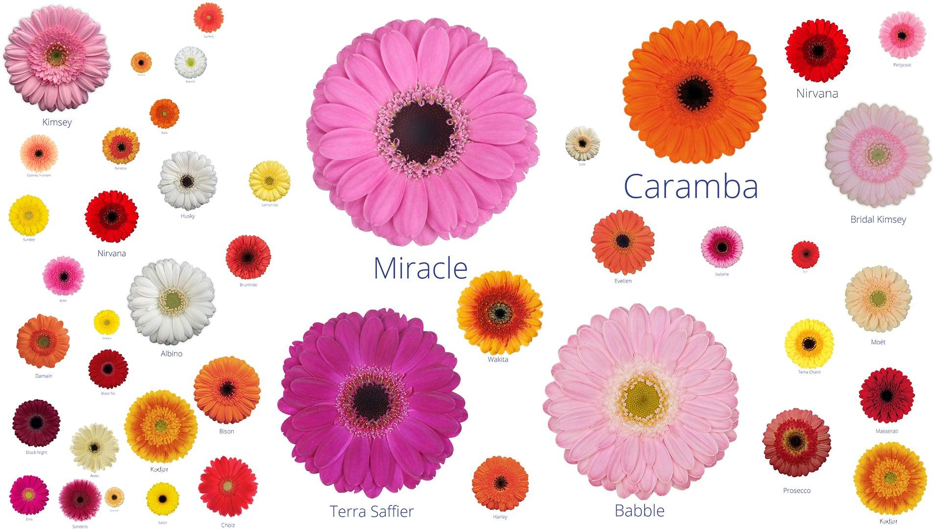 All the varieties of germinis of Jac Oudijk Gerberas
