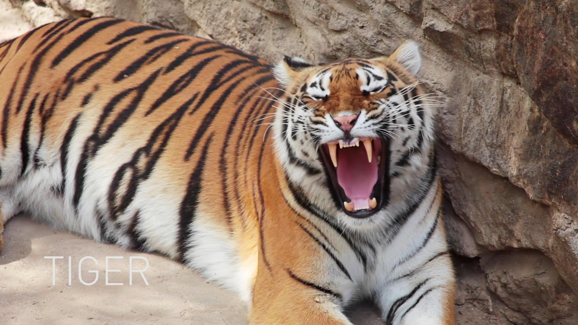 Tiger Recruiting web
