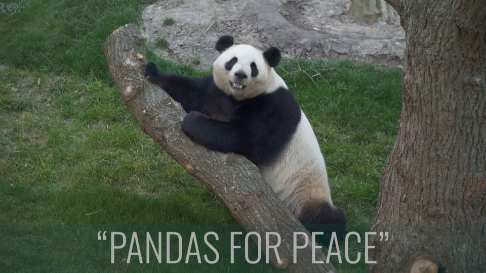 PANDA DIPLOMACY Copenhagen 2019 (SOME)