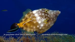 500 spotted filefish under oil rig gulf of mexico louisiana texas