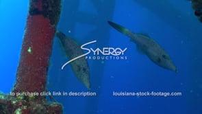 501 scrawled filefish under offshore oil rig gulf of mexico texas louisiana coast