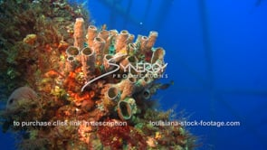 502 tube sponge ecosystem growing thriving on oil gas rig in gulf of mexico