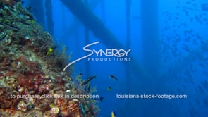 504 Epic marine ecosystem along legs of oil rig gas platform gulf of mexico