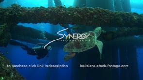 516 scuba diver observes hawksbill sea turtle foraging food oil rig gas offshore drilling louisiana