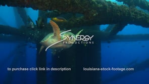 514 Louisiana texas offshore drilling Hawksbill sea turtle finds food under oil rig gas platform