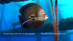 490 angelfish coexisting with oil rig gas platform ecosystem gulf of mexico