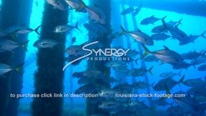 488 Nice video large school of Horse eye jacks swimming thru oil rig