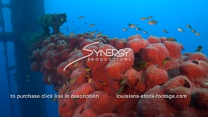 484 Nice awesome shot small fish swim around sponge growing on oil gas rig ecosystem