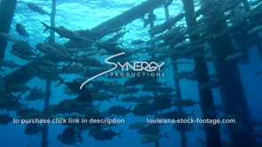 482 large school of Horse eye Jacks under oil rig gas platform ecosystem gulf of mexico