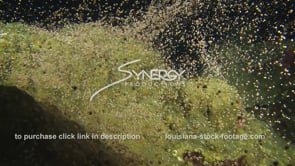1232 epic star coral spawning video at flower garden banks national marine sanctuary