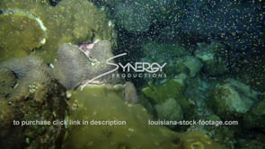 1219 dramatic coral spawning stock footage video clip
