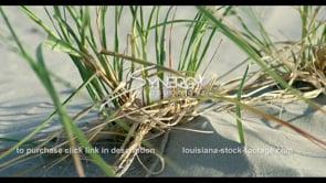 563B CU sea oats planted for coastal restoration in Louisiana
