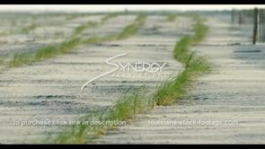 564 sea oats planted for coastal erosion protection on Louisiana beach