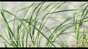 568 Nice shot sea oats planted for coastal restoration rack focus to sand in bkg