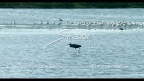 591 Heron bird in search of food Louisiana coast wetland marsh wildlife area stock footage video