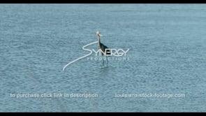 592 CU heron bird searches for food in Louisiana wetland