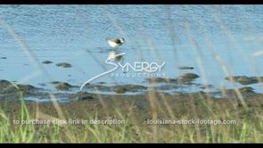 595 Sandpiper bird near coastal wetland at low tide
