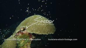 1201 Brain coral spawning