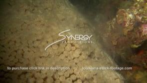 1199 star coral montastraea cavernosa smoking during coral spawning