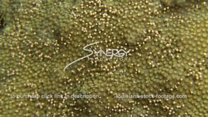 1198 nice shot of star coral releasing eggs coral spawning