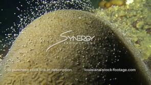 1194 circling large brain coral spawning